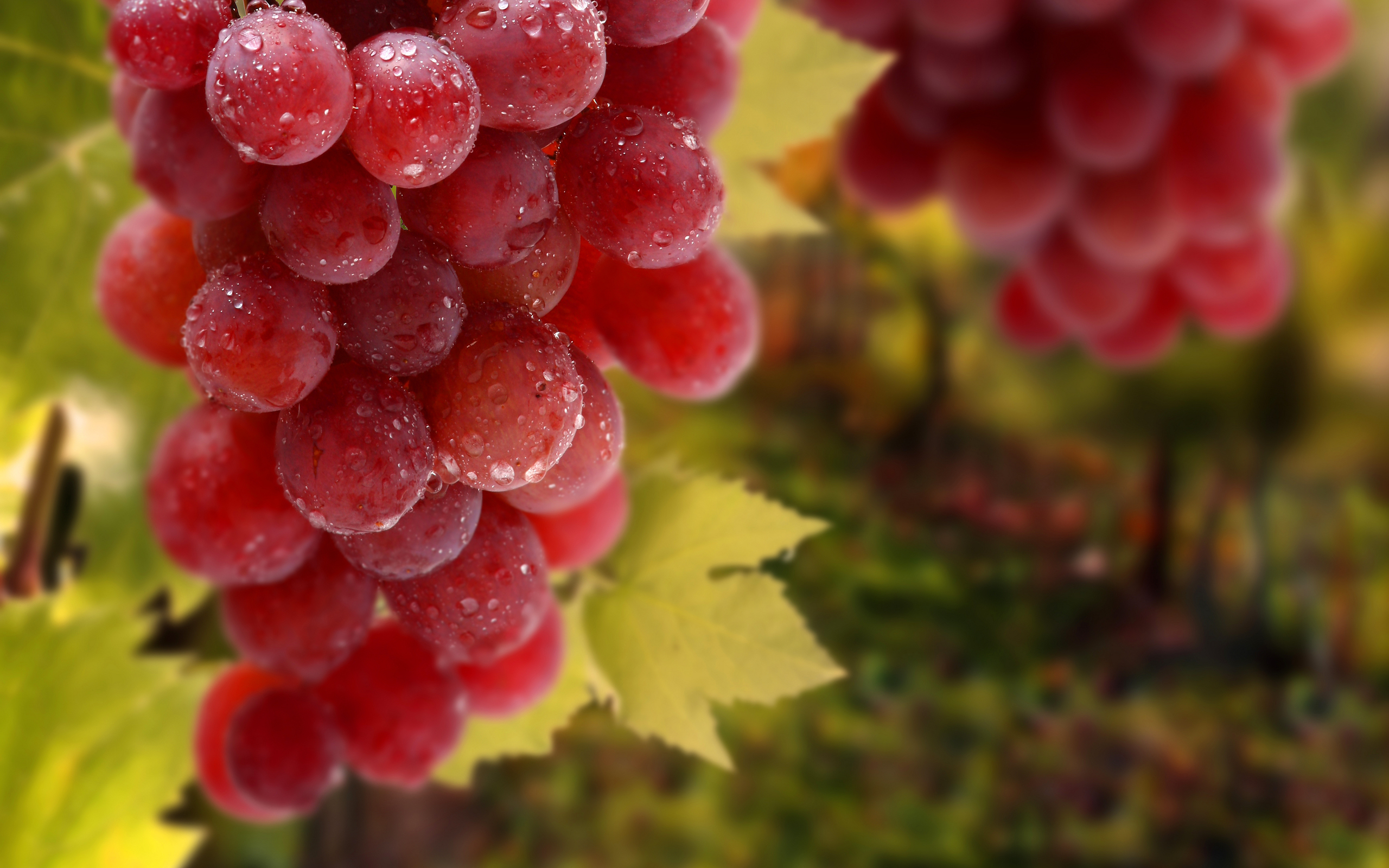 red_grapes_bunch-wide