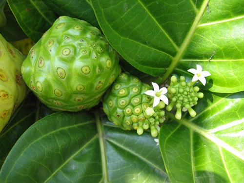 noni-fruit-fleur-anti-inflammatoire-naturel